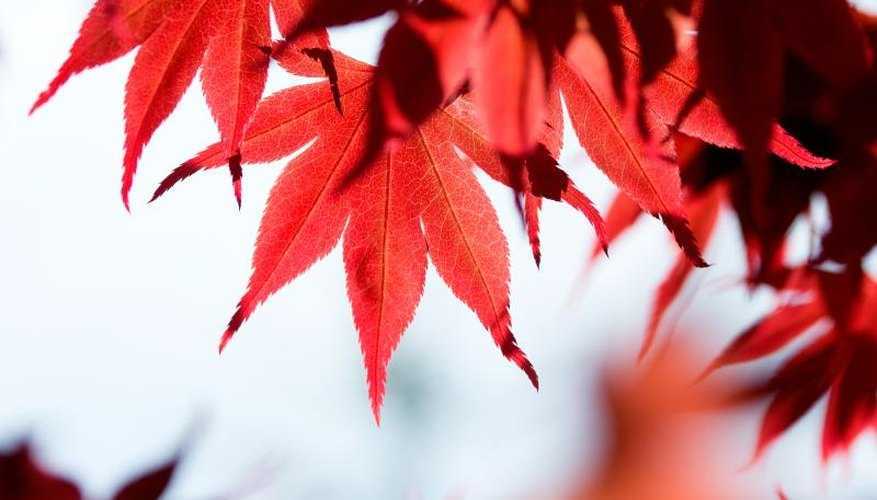 the leaves of a red maple tree.