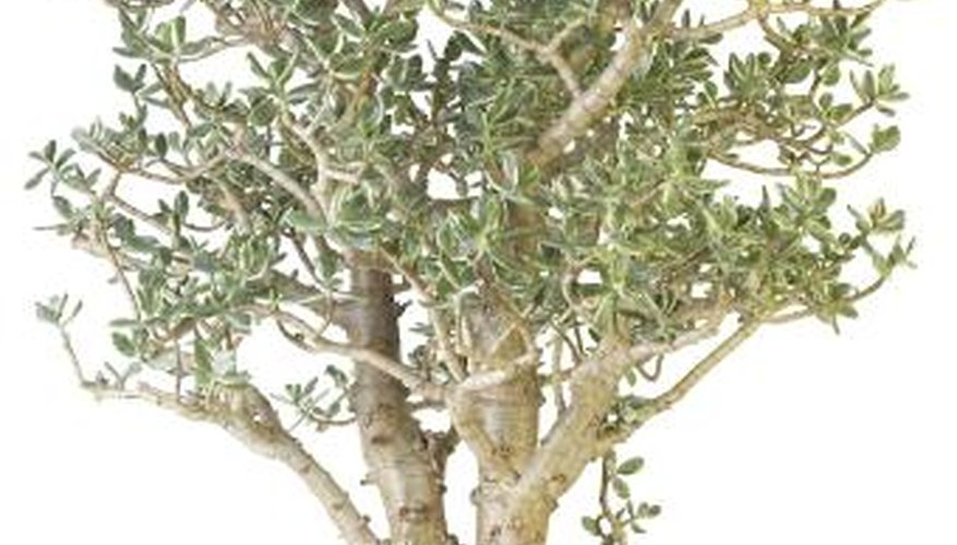 Jade plants can grow into shrubs up to 10 feet tall.
