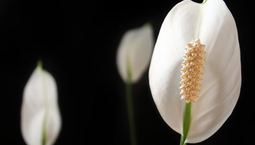 The flower of a peace lily plant.