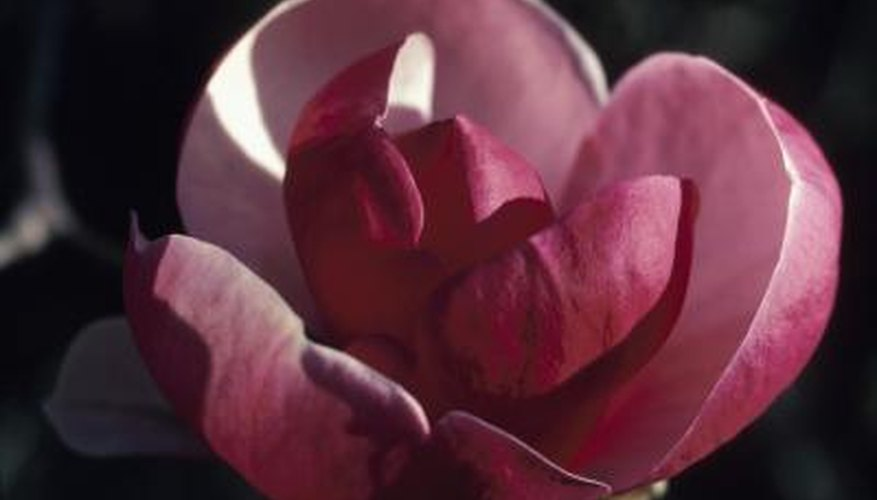 Tulip magnolia flowers can appear almost purple, depending on variety.