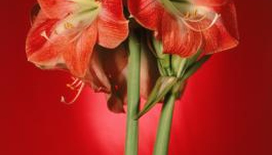 Give an amaryllis plant during the holidays to those near and dear.
