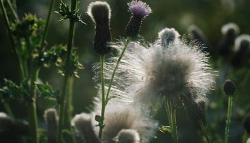 Thistle flowers and seeds