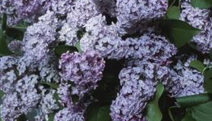Lilacs are hardy plants that require little care.