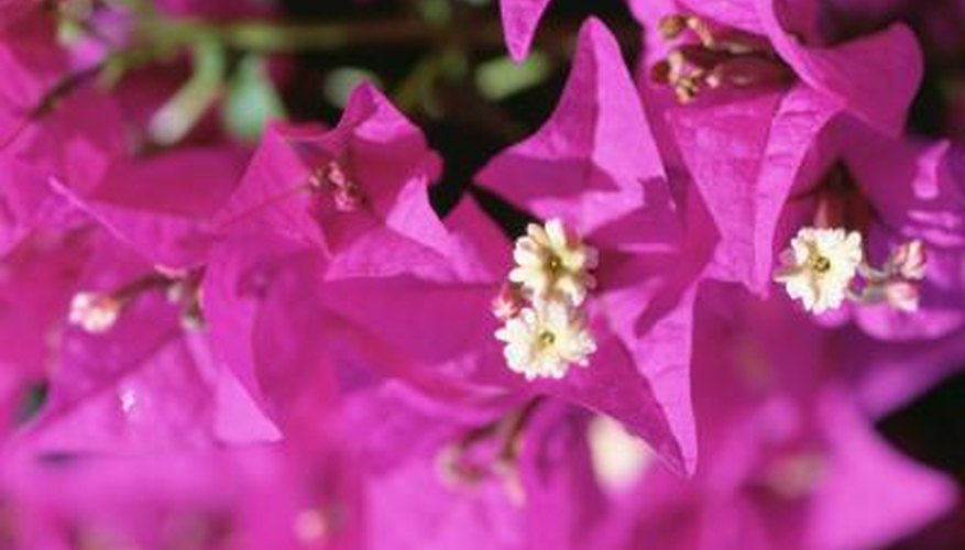 Bougainvillea is a fast-growing shrub with butterfly-attracting flowers.