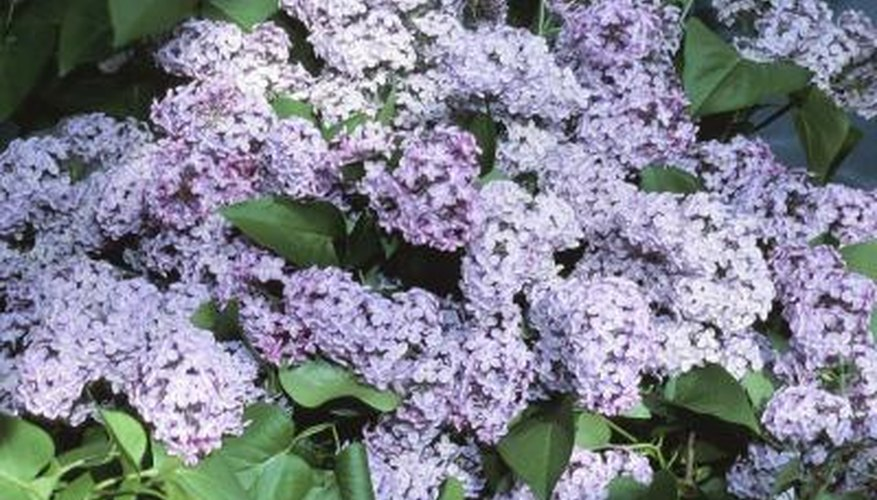 Chinese lilac exhibits the pale lavender color common to lilacs.