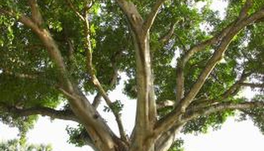 Golden gate ficus bonsai can be trained to resemble ficus trees we see in nature.