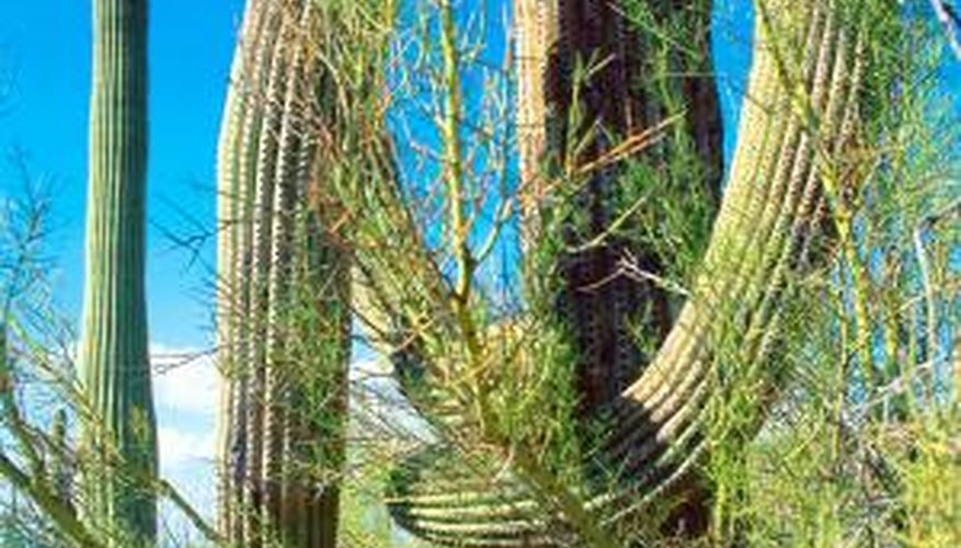Palo verde trees protect many Sonoran Desert cacti.