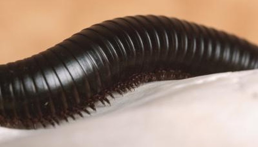 Millipedes thrive in dark and damp areas in the garden.