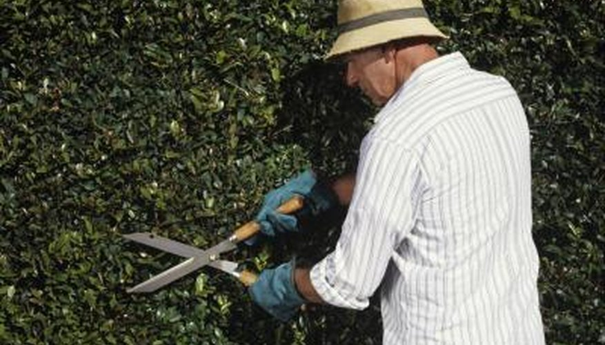 Some shrubs take well to formal pruning for a finished look.