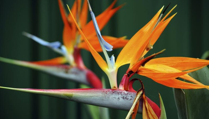 The flowers of the bird of paradise plant.