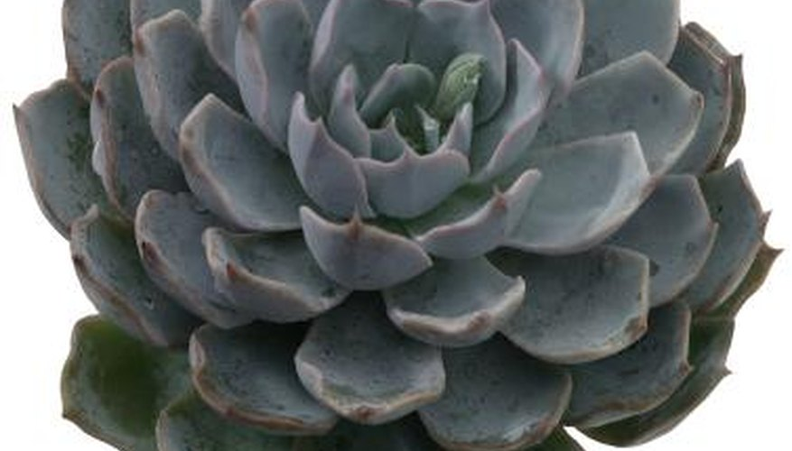 Succulents remain green year-round in indoor dish gardens.