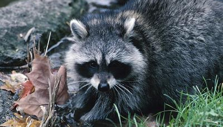 Use extreme caution if you find a raccoon in your basement.