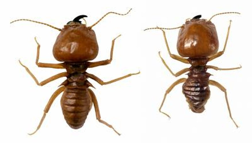 Termites are a wood destroying organism that may live in a home or wood structure.
