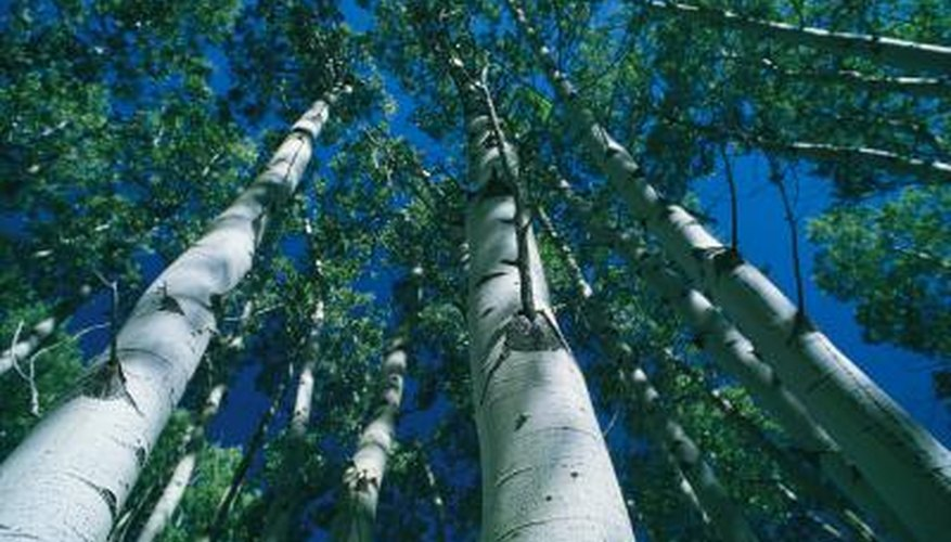 Birch is a light-colored hardwood.