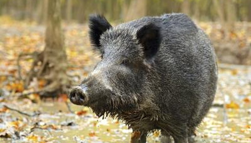 Wild Hog Hunting in Missouri