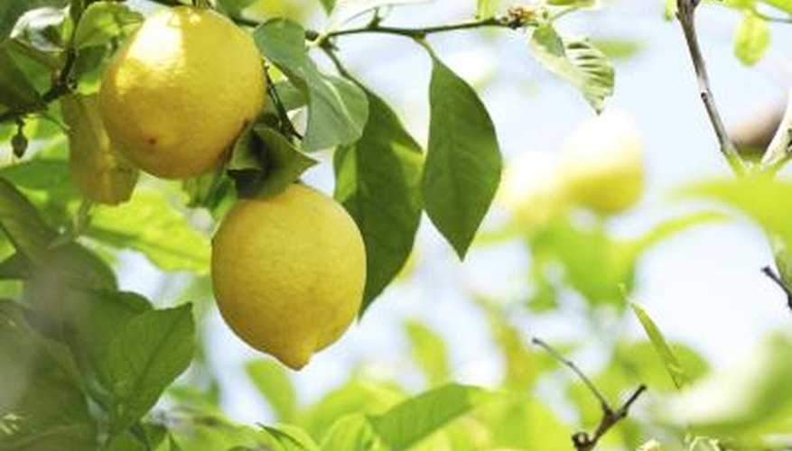 Lemons growing on a tree branch.