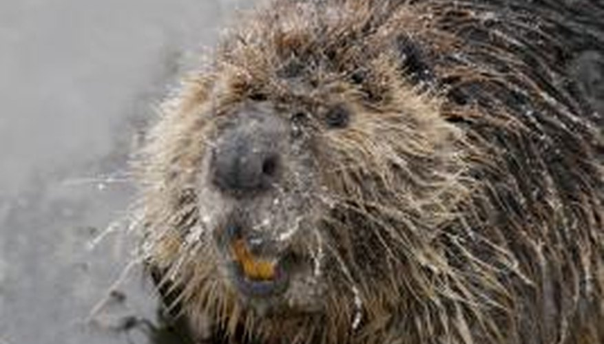 Beavers have returned to Florida after a centurylong absence.