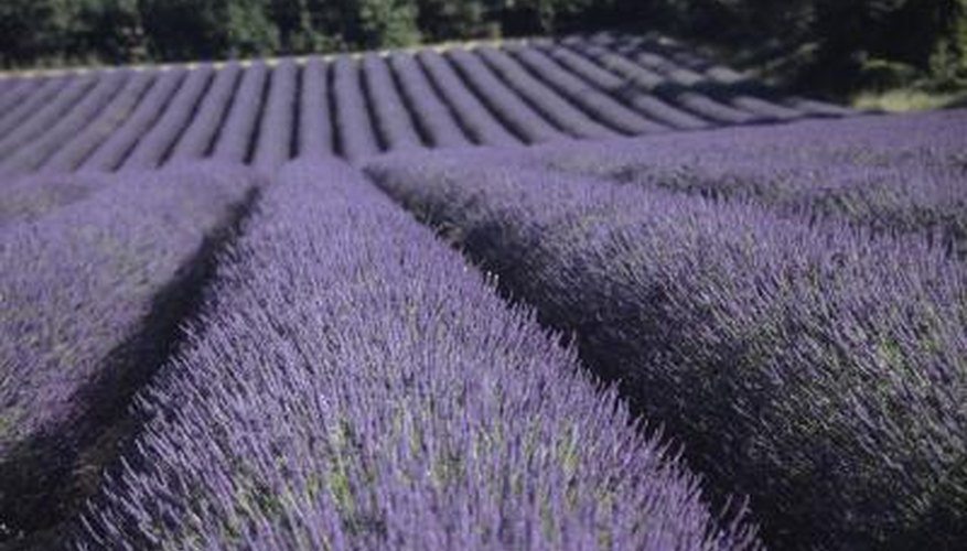 Growing lavender in northern Florida is a challenge.