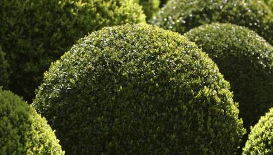 Globe-shaped shrubs make a garden look well-manicured.