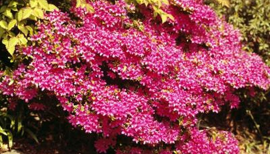 Most azaleas grow into large shrubs, reaching a minimum height of 4 feet.