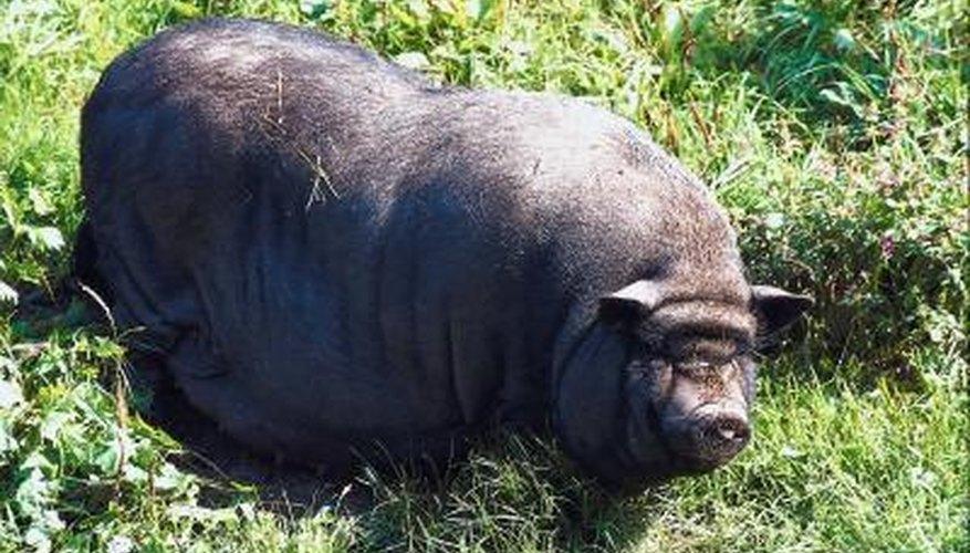 Hog Hunting in Sarasota County, Florida