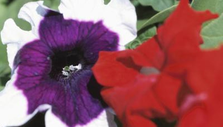 Petunias come in a wide range of colors.