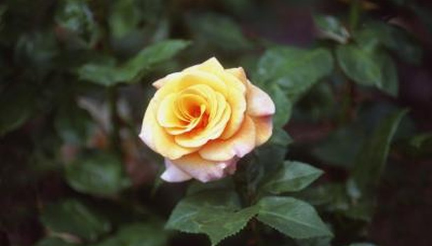 Aphids and spider mites can often be controlled by spraying the rose thoroughly in the morning with the garden hose.