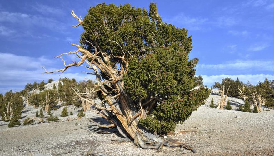 A very old bristlecone pine tree.