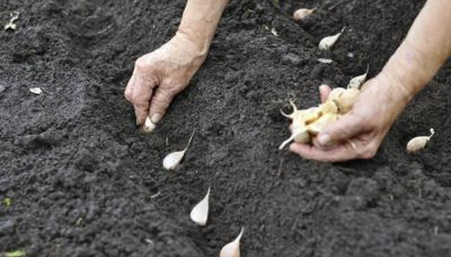 Garlic cloves planted in soggy soil may rot.