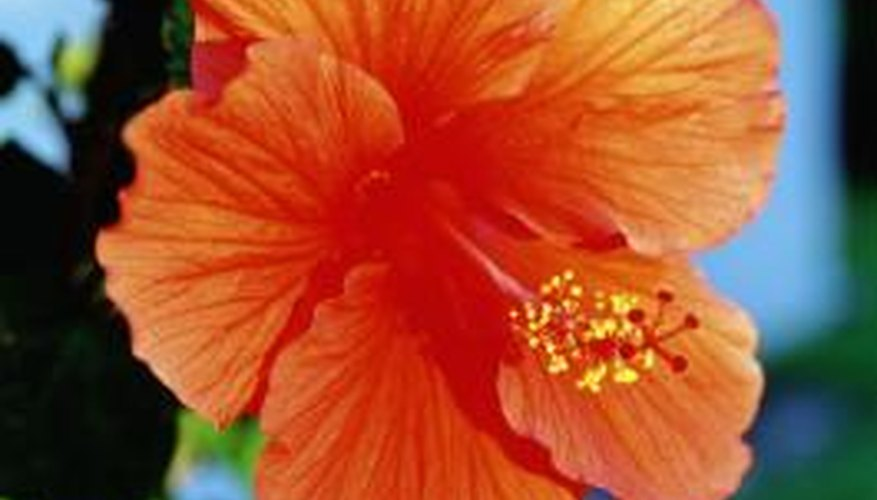 Tropical hibiscus flowers attract hummingbirds and butterflies.