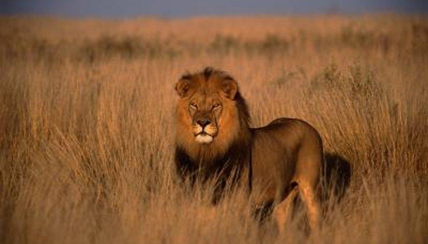Africa's grasslands are called savannas.