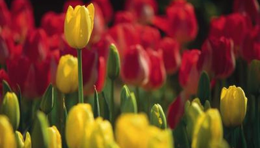 Only one color eludes the tulip flower.