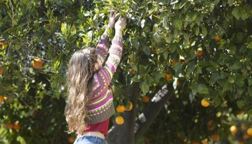 Citrus trees provide a bounty of fruit.