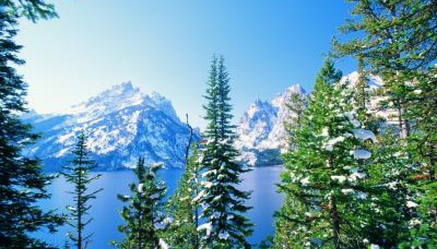 Most coniferous trees can thrive in very cold regions with poor soil.