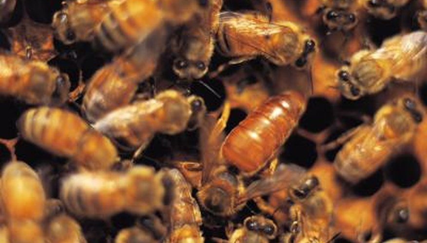 Building their nest in the wrong place, a colony of bees can do more harm than good.