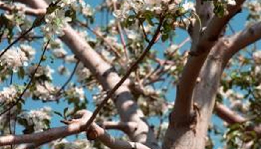 Spring-blooming cherry trees herald summer fruits.