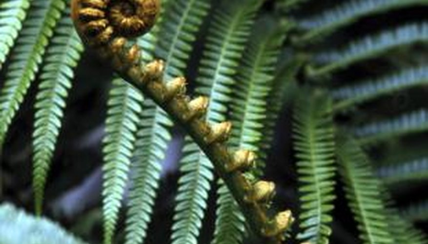 Ferns with their fiddleheads adorn cold and hot climate landscapes.