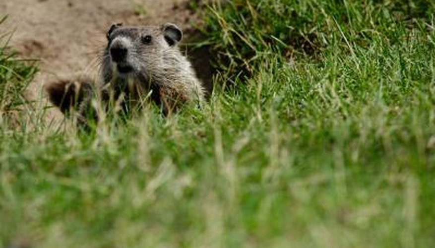 A groundhog can burrow under your barn foundation.