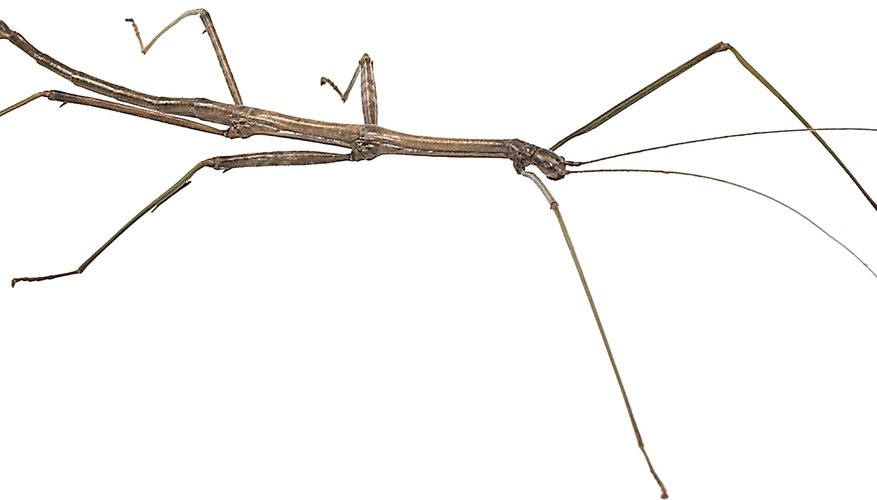 Stick insects use camouflage to hide among tree branches.
