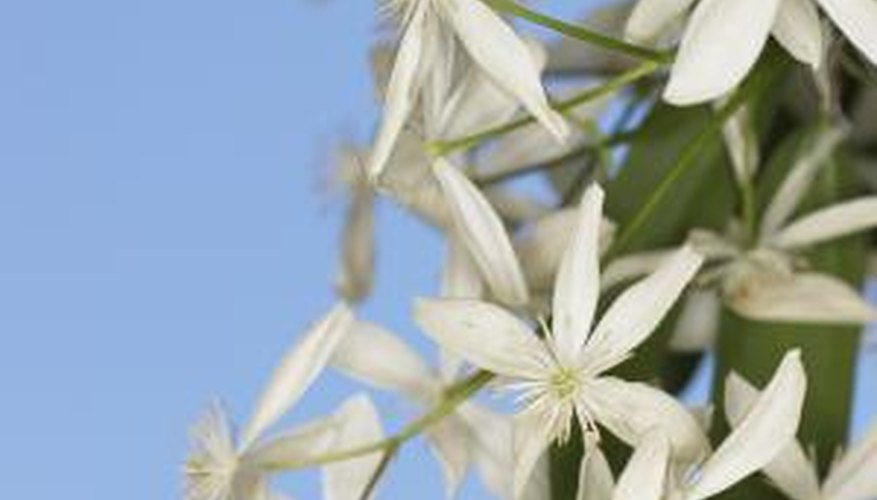 Clematis vines bloom in the spring with large flowers.
