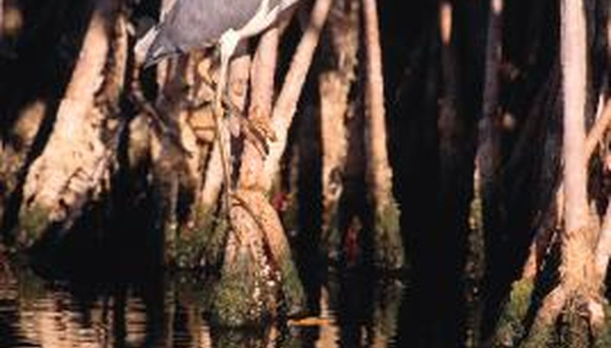 A heron can decimate the fish population in a shallow pond.