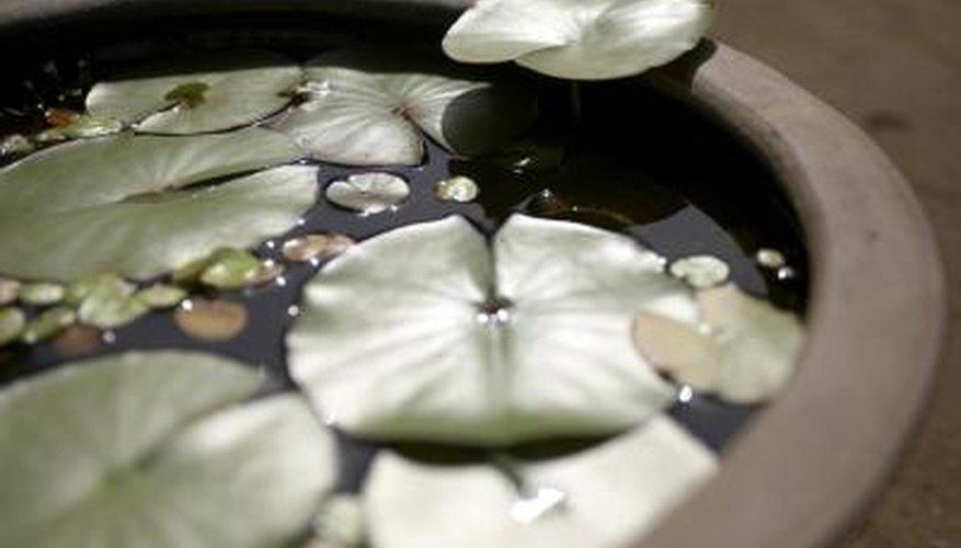 Aquatic plants help keep water gardens clean.