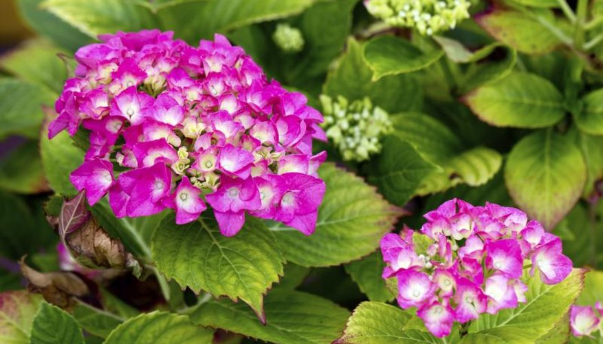 Pink hydrangeas growing in a pot.