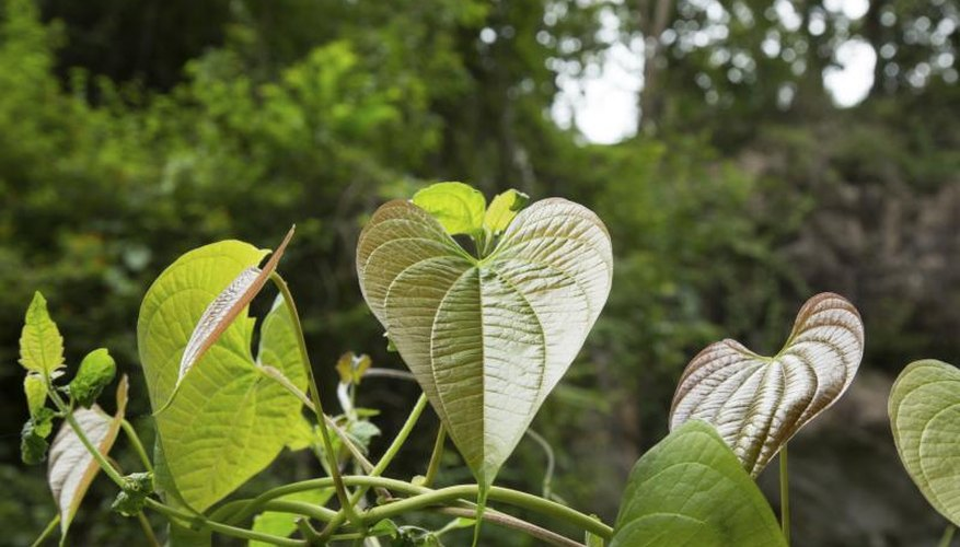 Heart-shaped leaves of a philodendron plant thriving in the yard.