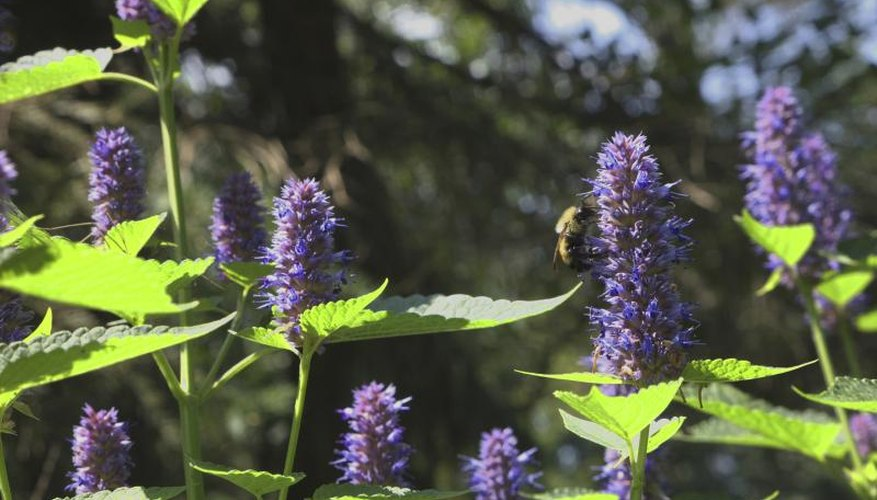 A bumble bee on a blooming hyssop plant.