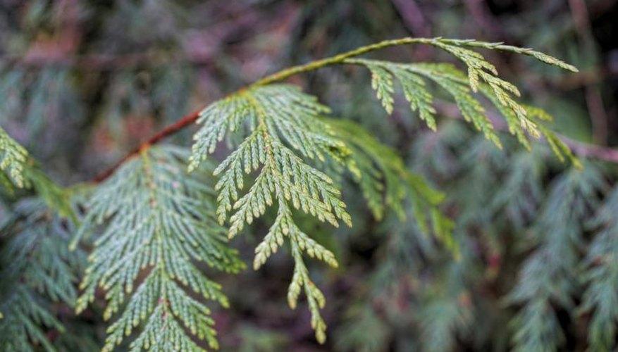 Branch of a cedar tree.