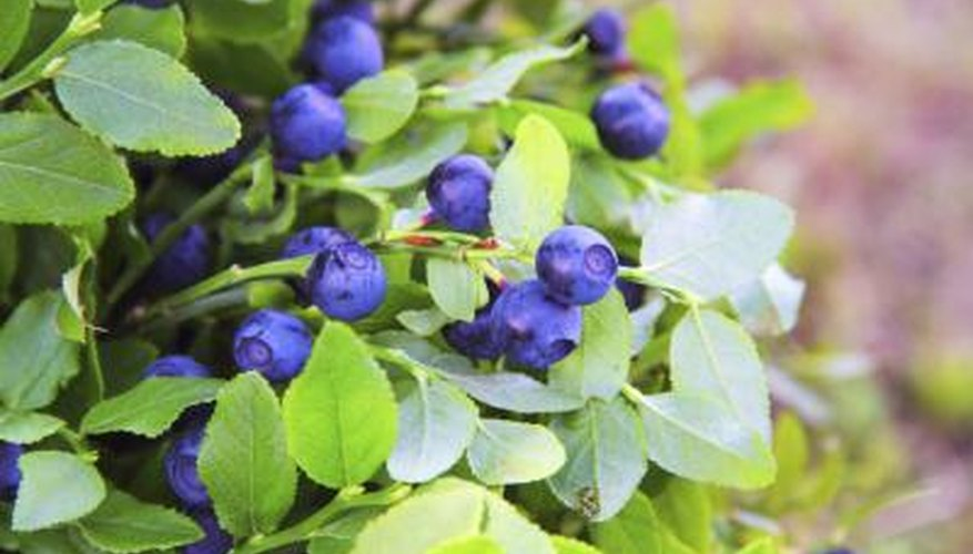 """Northland"" gives high yields of smaller blueberries that work especially well for jams and jellies."