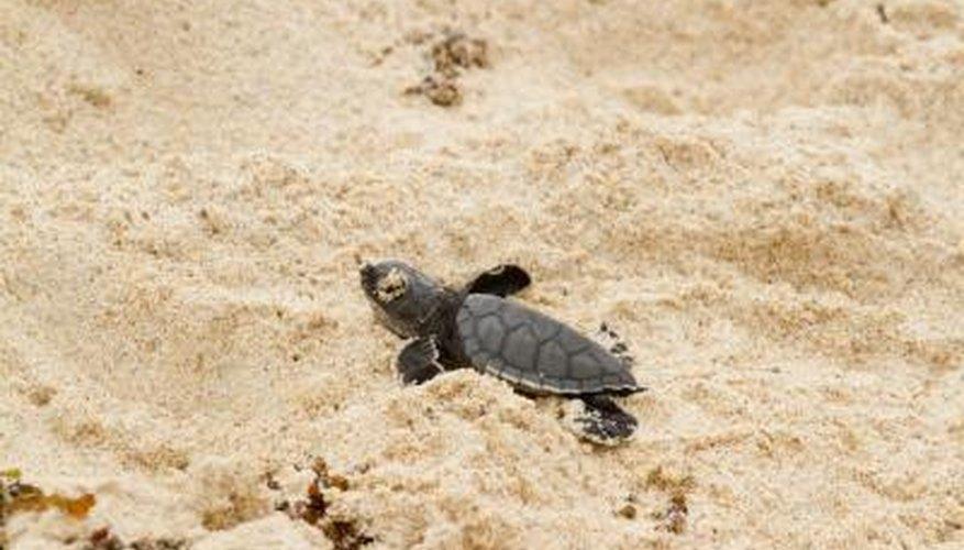 A turtle hatchling.