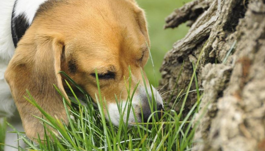 You're likely especially worried if your pet regularly chews on grass.
