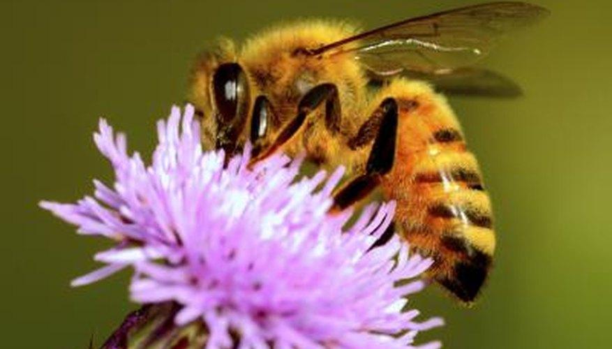 Honey Bee Information for Kids